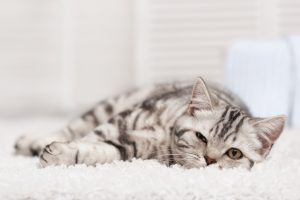 Cat on the carpet